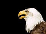 desktop eagle by kodo34, Photography->Birds gallery
