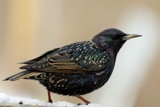 Starling (RAW) by egggray, photography->birds gallery
