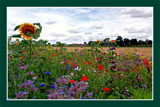 Zeeland Countryside (34), Borderflowers 3 by corngrowth, Photography->Landscape gallery