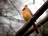 Female Cardinal by gerryp, Photography->Birds gallery