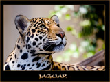 jaguar by kodo34, Photography->Animals gallery