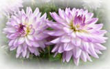 Delicate Dahlias by LynEve, photography->flowers gallery
