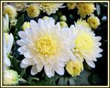 Creamy Mum by trixxie17, photography->flowers gallery