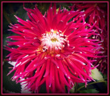"Dahlia Series - #1 ""The Firecracker"" by trixxie17, photography->flowers gallery"