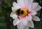 Bee being where it should be by LynEve, photography->flowers gallery