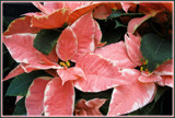Poinsettia Du Jour by trixxie17, holidays->christmas gallery