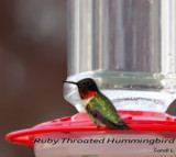 Ruby Throated Hummingbird by tigger3, photography->birds gallery