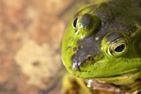 Pretty Green Eyes by richwn, Photography->Reptiles/amphibians gallery