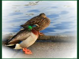 Garden Walk - Resting Mallards by LynEve, Photography->Birds gallery