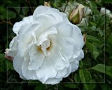 """Rosa """"Iceberg' by LynEve, photography->flowers gallery"""