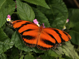 Orange Tiger Stripe by rahto, Photography->Butterflies gallery