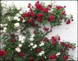 Wall of Roses by TheWhisperer, photography->flowers gallery