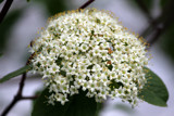 Viburnum by Pistos, photography->flowers gallery