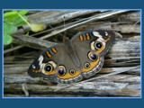 Found Among the Reeds by regmar, Photography->Butterflies gallery