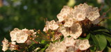 Mountain Laurel in the Sunset by Pistos, photography->flowers gallery