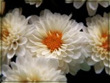 Creamy Mums by trixxie17, photography->flowers gallery