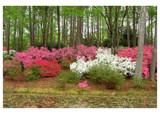 Azalea Forest by jennyvladimirova, Photography->Flowers gallery