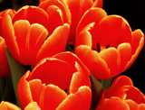 Glowing Tulips by trixxie17, photography->flowers gallery