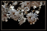 Series: Walk into Springtime; 1.First Blooms by verenabloo, Photography->Flowers gallery