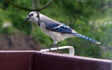 Close Up Of Blue Jay by thebitchyboss, Photography->Birds gallery