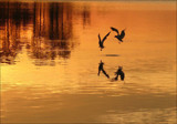 The River Dance by allisontaylor, Photography->Birds gallery
