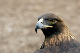~Golden Eagle~ by mimi, Photography->Birds gallery