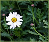 A daisy a day . . . . . by LynEve, photography->flowers gallery