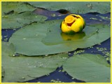 Nenuphar-water Lily by noranda, Photography->Flowers gallery