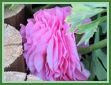 Ranunculus asiaticus in pink by skapie, Photography->Flowers gallery