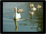 Mother's Day Swan...Family Update by G8R, Photography->Birds gallery