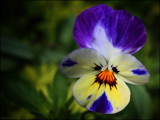 Getting close to Pansy by LynEve, photography->flowers gallery