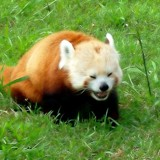Laughing Panda by rhelms, Photography->Manipulation gallery