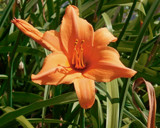 Daylily by trixxie17, photography->flowers gallery