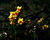 WILD DAFFODILS by LANJOCKEY, Photography->Flowers gallery