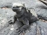 Sea Iguana by exploto, Photography->Reptiles/amphibians gallery