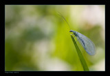 Wings of Glass by kodo34, Photography->Insects/Spiders gallery