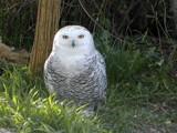 Snowy Owl by fogz, Photography->Birds gallery