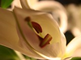 Lily Series no.1 by hobgoblin, Photography->Flowers gallery