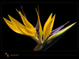 bird of paradise by kodo34, Photography->Flowers gallery