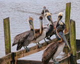 A Pelican Party by 100k_xle, photography->birds gallery