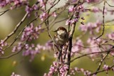 Sparrow in the Spring... by egggray, Photography->Birds gallery