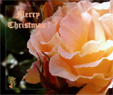 December Rose 6 - Merry Christmas! by LynEve, holidays->christmas gallery