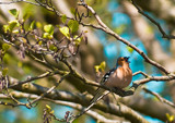 Singing Chaffinch by markvc1, Photography->Birds gallery