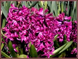Hyacinths by trixxie17, photography->flowers gallery