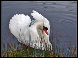 Swanking by Dehli, Photography->Birds gallery