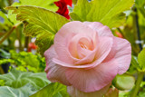 Pink Begonia by flanno2610, photography->flowers gallery