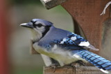 Blue Jay by fivepatch, photography->birds gallery