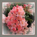 Rhododendron Percy Wiseman by LynEve, photography->flowers gallery