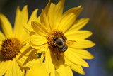 A Busy Bee Is a Happy Bee by tigger3, photography->insects/spiders gallery