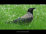 Corvus Corone Cornix by varkonyii, Photography->Birds gallery